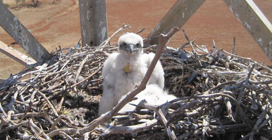 The hawk chicks in their nest. Image: supplied.